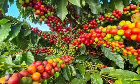 Média do indicador de café arábica é a maior em um ano, indica Cepea