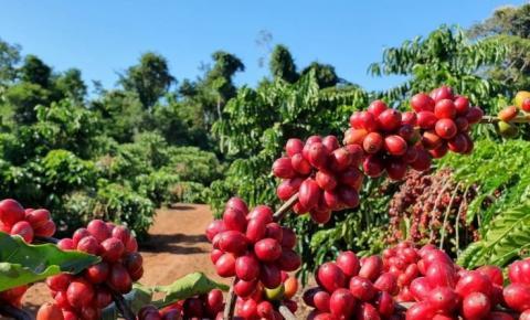 Acima de R$ 820/sc, Indicador do café robusta registra novo recorde nominal