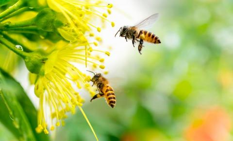 Agora é lei: proibido uso de inseticidas com nicotina, que são letais às abelhas